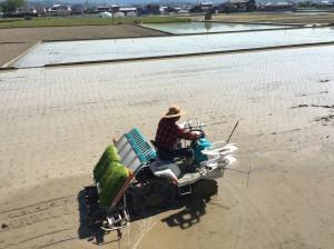 Plantation du riz kangen