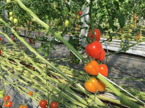 Tomate kangen2-2